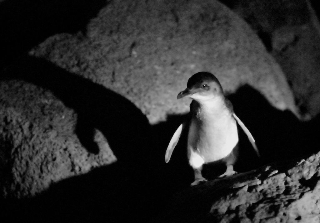 You can see fairy penguins come in at night from St Kilda Pier
