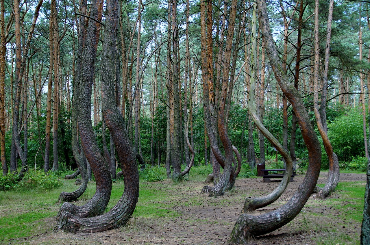 crooked-forest-866294_1280
