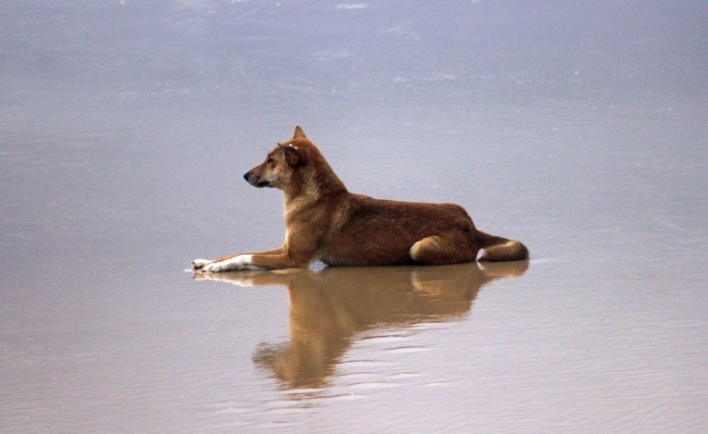 Dingo on Fraser Island.
