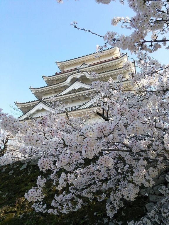 Gorgeous tree blossoms surrounds the Fukuyama Castle